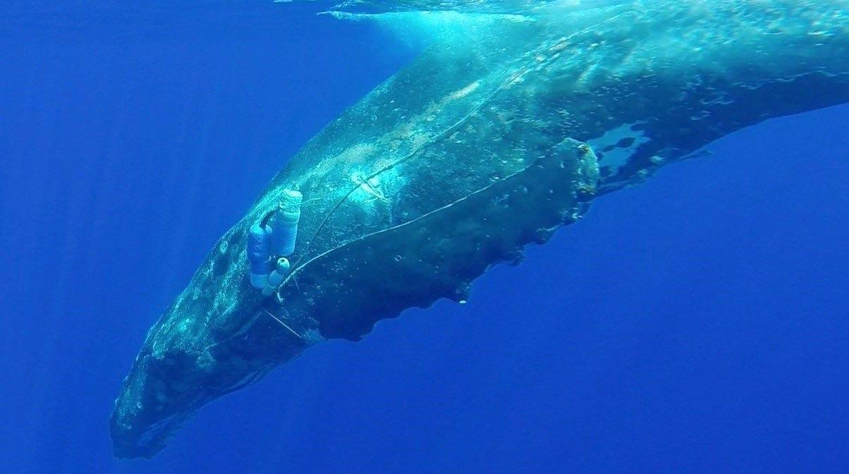 Drones para salvar ballenas
