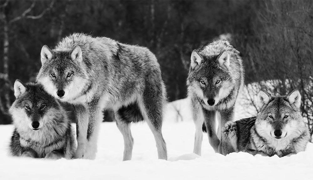 Los lobos del Sur