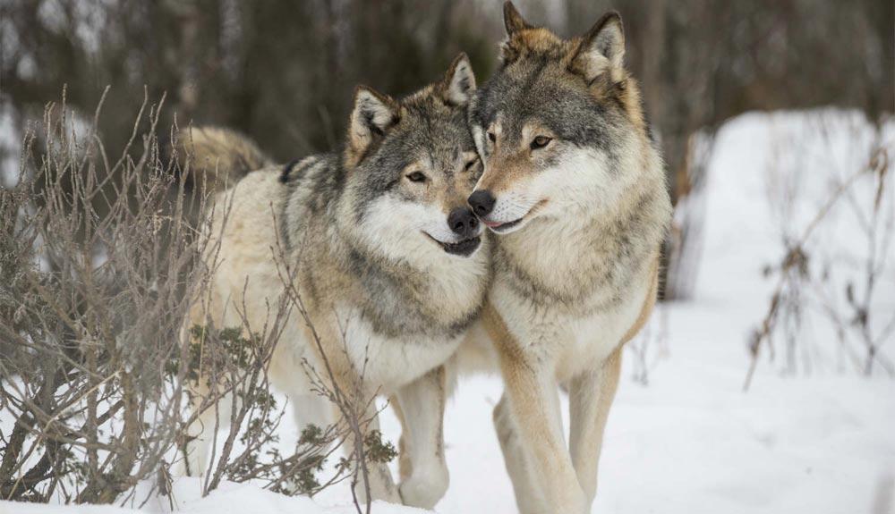 Lobos para frenar el despoblamiento rural