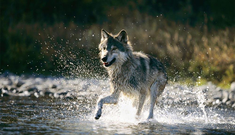 Lobos, los cazadores flexibles