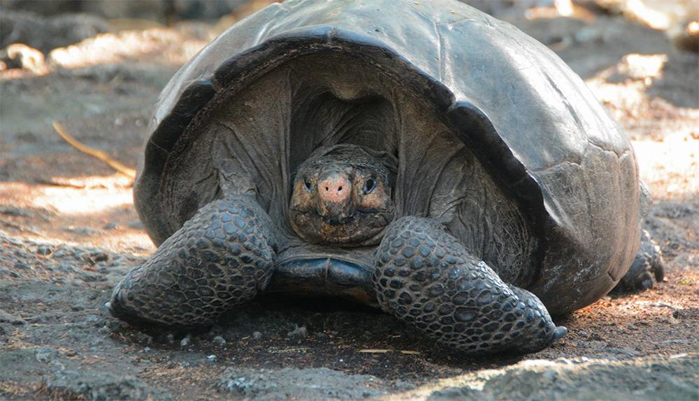 Hallan una tortuga gigante que se creía extinta desde hace más de 100 años