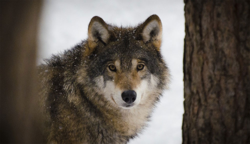 Recuperando la memoria del lobo