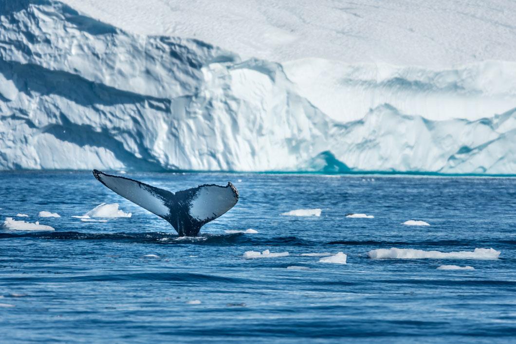 Ballenas que salvan a ballenas