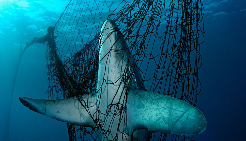 España es el mayor importador y exportador de tiburones y rayas del Mediterráneo