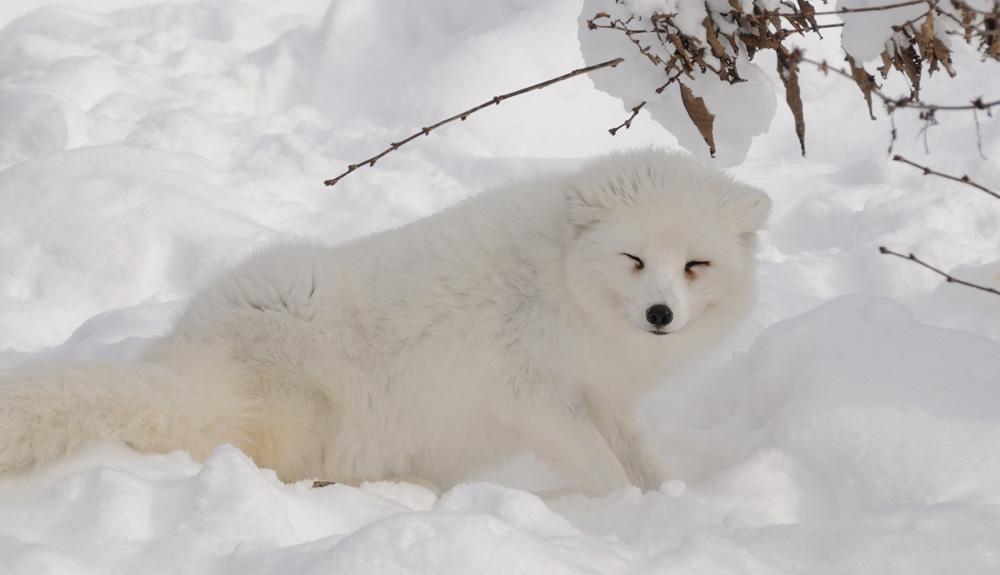 Zorra, polar y aventurera
