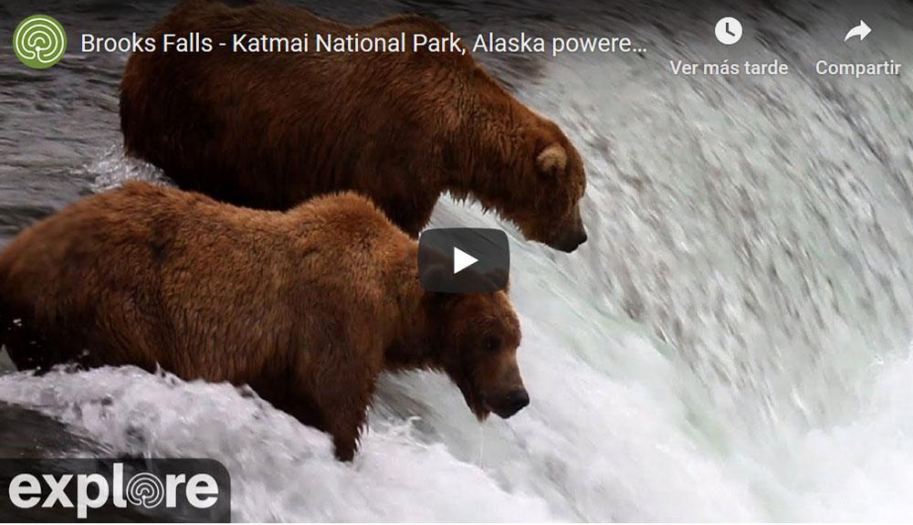 Los osos de Alaska, en vivo