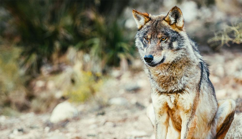 339 lobos podrán ser cazados tras la autorización de Castilla y León