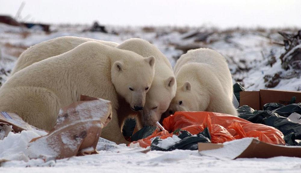 El plástico ya es parte de la dieta de los osos polares